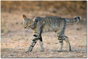 Gato salvaje africano © Africa Geographic